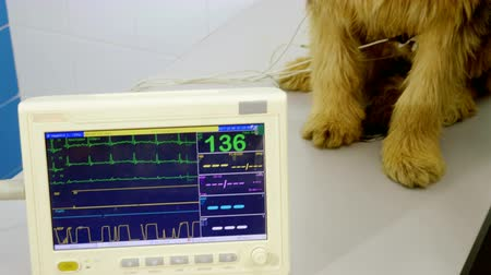 ecg : The vet checking the heartbeat of the dog in the veterinary clinic. 4K Stock Footage