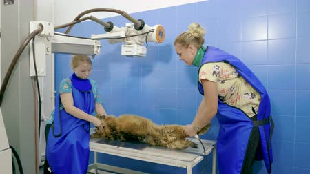 radiologia : Two vets making a medical examination of dog using x-ray machine in animal hospital. 4K