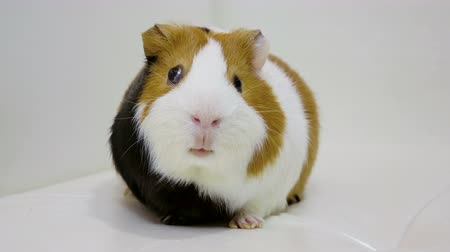 gine : Domestic animals. Close-up shot of guinea pig is on white background. 4K