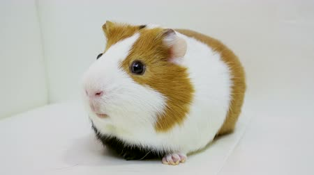 świnka morska : Domestic animals. Close-up shot of guinea pig is on white background. 4K