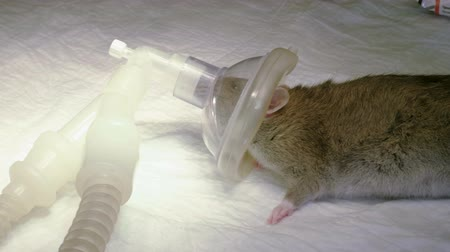 szczur : Vet preparing a rat for surgery, putting on muzzle an oxygen mask for anesthesia in animal hospital. 4K