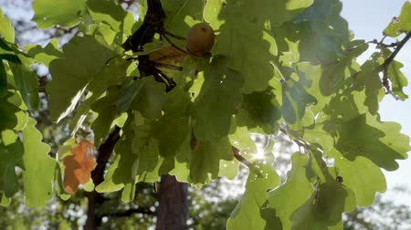 meşe palamudu : Close-up shot of green leaves on branches of oak tree in the rays of the sun. Slow motion. HD