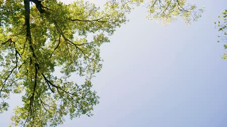 meşe palamudu : The top of a deciduous green tree against a blue sky. Slow motion. HD Stok Video