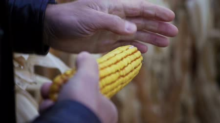 corn crop : A field of ripe corn. Agronomist examining the ear of corn. Slow motion. HD