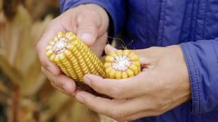 фермеры : A field of ripe corn. Agronomist examining the ear of corn. Slow motion. HD
