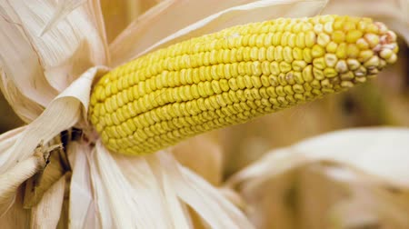 hozam : A field of ripe corn. Close-up shot of one ear of corn growing on the stalk. Slow motion. HD