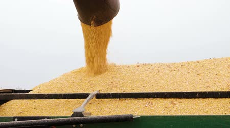 monoculture : Combine harvester unloaded corn grains in truck. Slow motion. HD Stock Footage