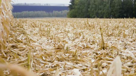 hozam : Stubble. A field of short stiff remains of corn stalks after being cut by combine harvester during harvesting. Slow motion. HD