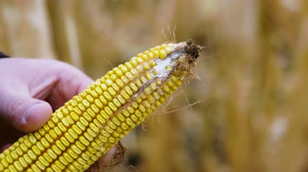 ear infection : Male hands holding a corn cob that is ill with fungal disease rhizoctonia. Slow motion. HD