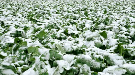 fertilidade : Winter landscape. Field of green agricultural plants covered in first snow. 4K