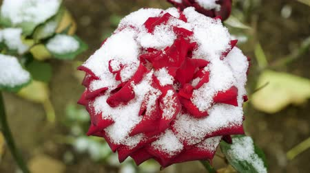 rosebush : Snowfall. Close-up shot of red rose buds covered in the first snow in november. 4K