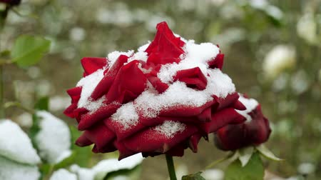bud rose : Snowfall. Close-up shot of red rose buds covered in the first snow in november. 4K