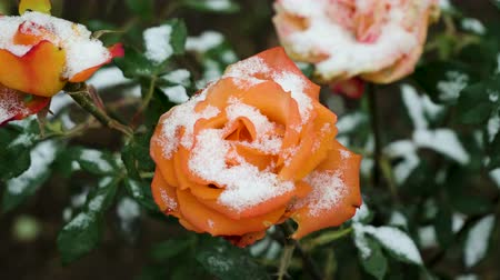rosebush : Snowfall. Close-up shot of orange rose buds covered in the first snow in november. 4K Stock Footage