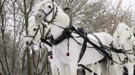 cavalo vapor : Medium shot of Troika. A Russian carriage drawn by a team of three white horses side by side. Slow motion. HD