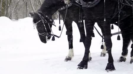 juba : Medium shot of Troika. A Russian carriage drawn by a team of three black horses side by side. Slow motion. HD
