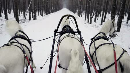 тянуть : Russian Troika of horses. Three white horses in harness pulling a sleigh in the winter forest. Slow motion. HD Стоковые видеозаписи