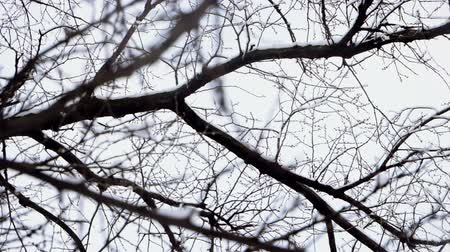 1月 : Winter landscape. Medium shot of snow falling on leafless tree branches against cloudy sky. Slow motion. HD