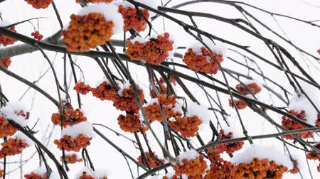 üvez ağacı : Close-up shot of orange rowan berries hanging on mountain ash tree covered with snow. 4K