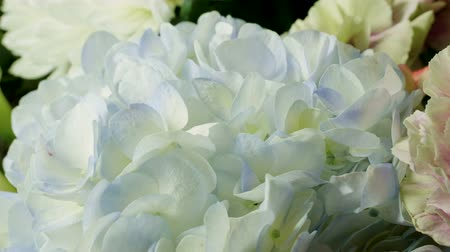 ortanca : Close-up shot of fresh white with blue color hydrangea in a flower shop. 4K