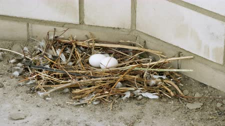 pigeon nest : Close-up shot of two white pigeon eggs lying in the nest. 4K