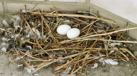 słoma : Close-up shot of two white pigeon eggs lying in the nest. 4K