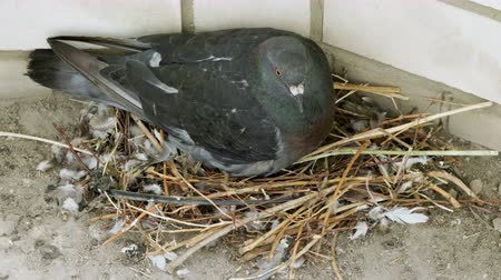 pigeon nest : Close-up shot of a pigeon sitting on a nest with two eggs. 4K