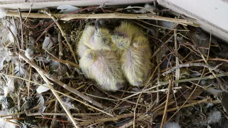 bird eggs : Nestling. Close-up shot of two newborn pigeon babies sitting in the nest. 4K
