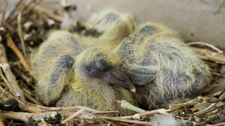 pluma : Nestling. Close-up shot of two newborn pigeon babies sitting in the nest. 4K