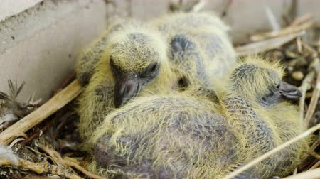 pigeon nest : Nestling. Close-up shot of two newborn pigeon babies sitting in the nest. 4K