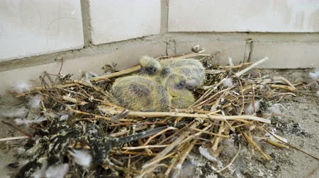 csaj : Nestling. Close-up shot of two newborn pigeon babies sitting in the nest. 4K