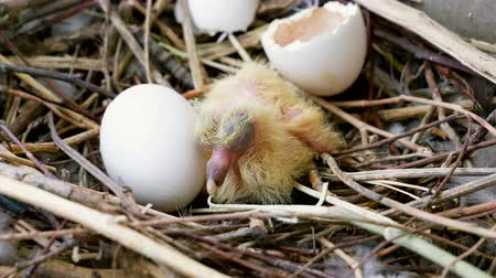 narozený : The nestlings in the nest. Close-up shot of newborn pigeon chick and one egg. 4K Dostupné videozáznamy