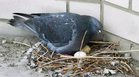 pigeon nest : Close-up shot of a pigeon sitting on a nest with one egg and one nestling. 4K