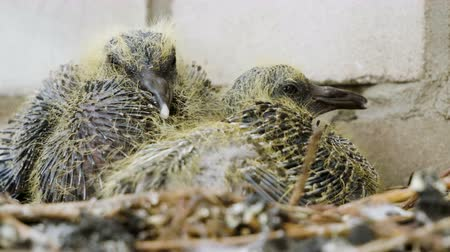 pigeon nest : Nestling. Close-up shot of two pigeon babies sitting in the nest. 4K
