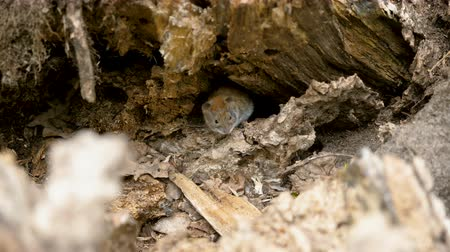 havlama : Close-up shot of wild field mouse hiding in the hole in forest. 4K