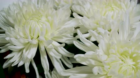 Astra. Close-up shot of white aster flower in a florists. 4K