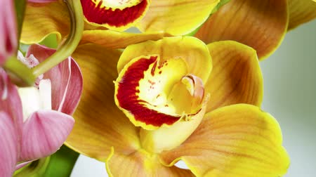 orchidee : Orchidee. Close-up shot van verse plant met gele bloemen. 4K