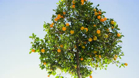 City landscape. Tangerine tree with ripe tangerines on the streets of Barcelona in Spain. 4K