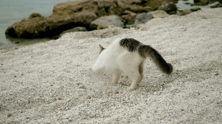 evsiz : Stray cat burying something in sand on beach of Greece. Slow motion. HD Stok Video