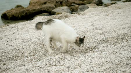 бездомный : Stray cat burying something in sand on beach of Greece. Slow motion. HD Стоковые видеозаписи