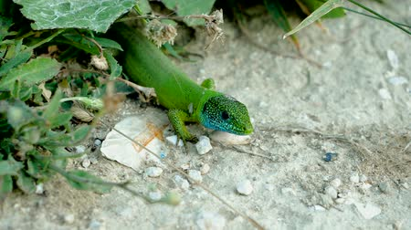 игуана : Close-up shot of a green lizard with a blue head on a stone. Slow motion. HD