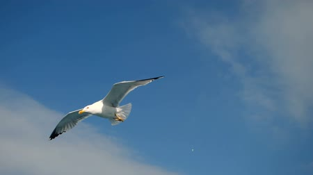 flying sea gull : Wild bird. Close-up shot of seagull soaring in the sky over the Mediterranean sea and catching a thrown piece of bread. Greece. Slow motion. HD