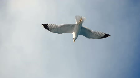 flying sea gull : Seagulls flying against the blue sky. Flock of birds floating on air currents of wind. Big seagull soaring over the Mediterranean sea. Greece. Slow motion. HD
