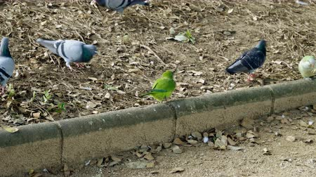 feeding ground : Monk parakeets. Green parrots and pigeons eating white bread in Barcelona city park. Spain. 4K