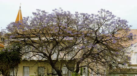 субтропический : Flowering jacaranda tree on the streets of Greece. 4K