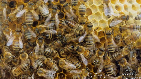 медовый : Beehive, swarm of bees and honey. Bee producing wax and building honeycombs from it. 4K