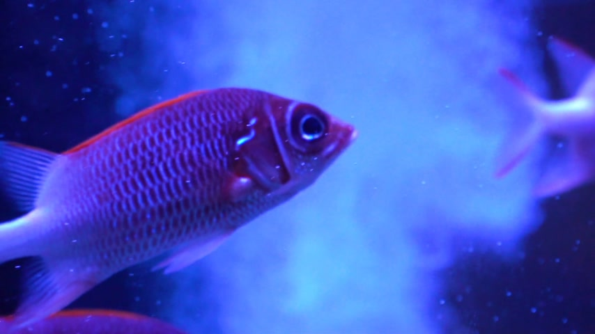 wieloryb : Very beautiful red fish. Slowly the fish swims. Lots of fish Sargocentron diadema.