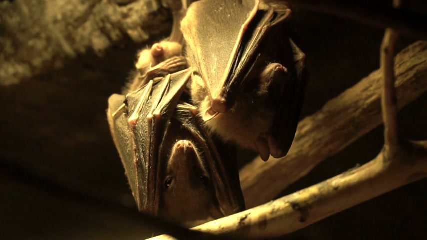 pteropus : Flying fox. The bat is hanging on a tree. A bat in a cave