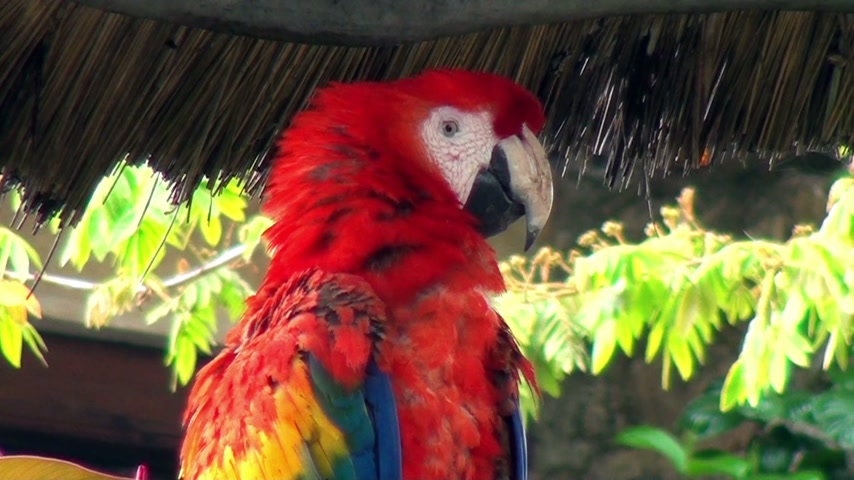 ara papagáj : Birds - Parrots - Macaw - Scarlet Macaw - Neotropical parrot - Video high definition - Real time Stock mozgókép