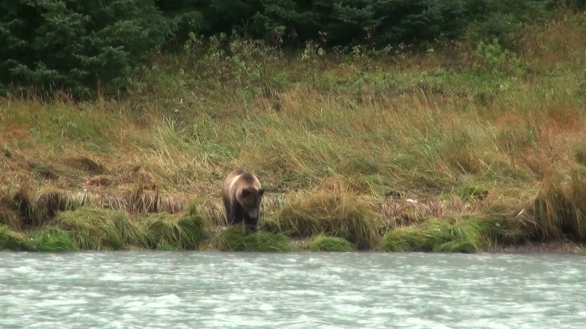 grizzly bär : Brown Bear Fishing In Rainy Day - Wildtier - Alaska - High Definition Video