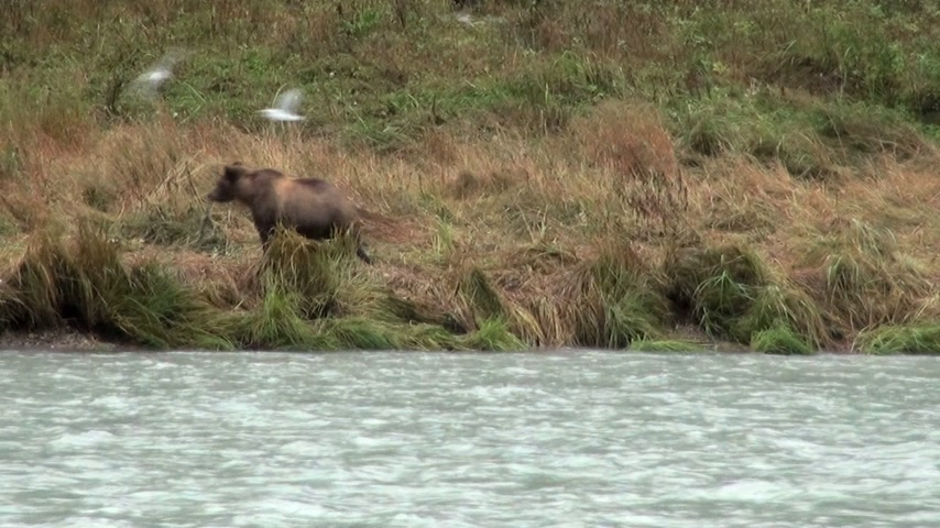 kahverengi : Brown Bear Fishing In Rainy Day - Animals In The Wild - Alaska - High Definition Video Stok Video